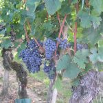 Grapes, Alsace